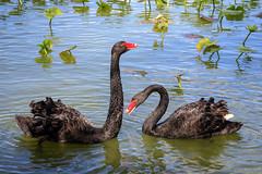 Courtship Ritual (Robert F. Carter Travels) Tags: bird birdwatching birding birds blackswan blackswans lakemorton lakeland swan swans wildlife florida water lakes