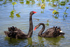 Courtship Ritual (Robert F. Carter Travels) Tags: bird birdwatching birding birds blackswan blackswans lakemorton lakeland swan swans wildlife florida water lakes
