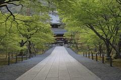 Fresh green,Nanzen-ji,Kyoto (yopparainokobito) Tags: nanzenji 南禅寺 新緑 青もみじ shinryoku aomomiji freshverdure freshgreen kyoto 京都 eos m3 canon