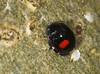 Kidney-spot Ladybird (Prank F) Tags: glapthorncowpastures wildlifetrust northantsuk wildlife nature insect macro closeup beetle ladtbird ladybug kidneyspot