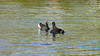 Moorhen fight (10/10) (Franck Zumella) Tags: moorhen galinule poule eau nature fight lutte water lake lac bataille duel black noir bird oiseau wildlife action color colors couleur