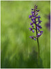Orchis mâle Orchis mascula • Satyrion mâle (jeanmichel.lucas) Tags: v