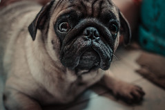 jarvis (santi.gual) Tags: nikond5000 yongnuo35mmf2 pug pugs dogs dog lowlight handheld