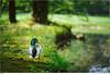 Ente in der Rosenau (marcus juettner) Tags: ente frühling park tiere vogel rödental bayern deutschland de duck