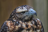 Chilean Blue Eagle (crafty1tutu (Ann)) Tags: travel holiday 2017 unitedkingdom uk england yorkshire northyorkshire birdsofpreycentre huby eagle chileanblueeagle animal bird crafty1tutu canon7dmkii ef100400mmf4556lisiiusm anncameron naturethroughthelens