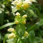 Au jardin, lamier à fleurs jaunes, Bosdarros, Béarn, Pyrénées Atlantiques, Aquitaine, France. thumbnail