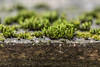 Moss on old wood (AudioClassic) Tags: moss plant nature spring old wood brown wall pattern copyspace wooden plank surface texture hardwood retro background panel textured grunge timber board dark design vintage material floor rough natural abstract dirty color grain grungy weathered backdrop table construction structure carpentry pine frame aged grey rustic exterior desk tree closeup stain row wallpaper decorative oak obsolete antique dry timbered