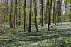 Wood anemones everywhere - an amazing sight (Ingrid0804) Tags: woodanemones anemones wood forest spring trees beeches denmark