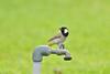 White-eared bulbul (RAMI SABER DAHMOUS) Tags: ramidahmous rami ramisaber nikond500 nikon lens70300vr whiteearedbulbul birds bulbul birdwatching