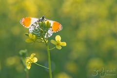 Ready for take off... (Bart Hardorff) Tags: 2018 alblasserbos alblasserwaard barthardorff thenetherlands april butterfly orangetip oranjetipje vlinder papendrecht zuidholland nederland nl