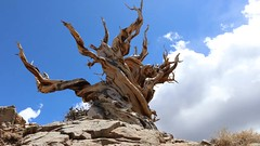 Timelapse Clouds Over The Bristlecone Pines. (RS2Photography) Tags: corpsetree boiling 80d canon80d timelapsetuesday idk flickr inyonationalforest naturesbeauty skye blue sky cloudy stormy incomingstorm storm beauty 10000feet prettytree pretty beautifullydead earth inyocounty inyo cali california whitemountains oldest gnarlytree twistedtree twistytree twisted gnarly rossstone stone ross 30fpstimelapse ancientbristleconepines ancienttrees ancientbristleconepinetrees bristleconepinetrees deadtree ancient bristleconepine bristleconepines timelapse bristlecone tree dead nature clouds flickrfriday ihateflickrfriday