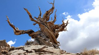Timelapse Clouds Over The Bristlecone Pines.