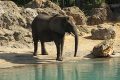 Elephant (Steve Dawson.) Tags: elephant elephantidae african tusk trunk large disneyanimalkingdom disney savannah orland florida usa holiday vacation canoneos50d canon eos 50d ef28135mmf3556isusm ef28135mm f3556 is usm 8th march 2018