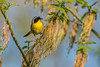 Golden Hour Yellowthroat (PhillymanPete) Tags: leaves spring wildlife tree nature bird geothlypistrichas songbird warbler perch commonyellowthroat nikon d800e