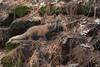 ''Petit prince!'' Renardeau-Fox (pascaleforest) Tags: animal fox renard nikon nature passion dream wild wildlife faune rêve printemps spring