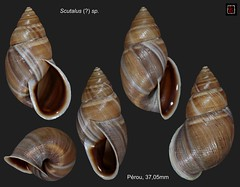 scutalus sp perou 37mm05 (MALACOLLECTION Landshells Freshwater Gastropods) Tags: bulimulidae bulimulinae scutalus scutalussp peru cajamarcadepartment pacasmayo chilete claudeandamandineevanno gastéropodes gastropods invertebrates faune fauna macro gastropoda escargots terrestres collection schnecken mollusques molluscs mollusca coquillages landshells landschnecken landmollusken landsnails malacologie malacology macrophotography macrophotographie