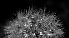Soffione (Nino Gemmellaro) Tags: dandelion flower dentedileone soffione taraxacum bw
