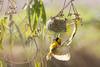 Tisserin gendarme - Ploceus cucullatus - Village weaver (TESS4756) Tags: 2018 andalousie espagne faune faunedespagne nidification oiseaux passériformes plocéidés thérèseb tisseringendarme lapuebladelrío andalucía