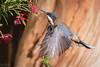 Agony and Ectasy DSC_1042 (BlueberryAsh) Tags: easternspinebill backyard birds acanthorhynchustenuirostris easternaustralianbird nativebird tamron150600 spinebill birdfeeding nikond500