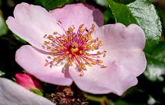 DSC_0116 (overlord valerie) Tags: arboretum flower nature spring closeup macro