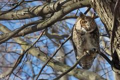Great Horned Owl (Mitch Vanbeekum Photography) Tags: greathornedowl great horned owl wild wildlife nj newjersey canon14teleconvertermkiii canoneos1dx canonef500mmf4lisiiusm mitchvanbeekum mitchvanbeekumcom bubovirginianus