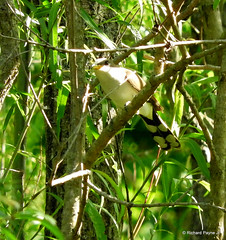 Yellow-billed Cuckoo_N3466 (Henryr10) Tags: coccyzusamericanus coccyzus yellowbilledcuckoo cuckoo avian bird vogel ibon oiseau pasare fågel uccello tékklistar ybcu