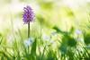 IMG_8328 Ile-de-France - Orchis singe - Orchis simia (fabianvol) Tags: france francia prairie grassland pastizal plante plant planta fleur flower flor orchidaceae orchidée orchid orquídea orquidácea