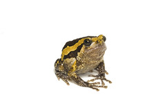 Bulldog on white background (jda watt) Tags: background white frog isolated bullfrog pulchra kaloula thailand asian banded asia painted amphibian beautiful nature microhylidae black adult natural one brown space animal tropical wildlife skin
