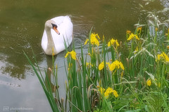 the lilies & the swan (photos4dreams) Tags: photography photos4dreams p4d photos4dreamz