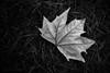 Λ u t u m n (Elton Pelser) Tags: bw blackwhite leaf autumn greyscale mono nikond3400 grass photography dark noir monochrome