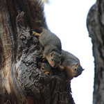Juvenile Squirrels in the Bur Oak Tree, Ross School of Business at the University of Michigan (May 16th, 2018) thumbnail
