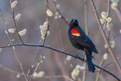 Red-winged Blackbird (Bruce Bugbee) Tags: nikond7200 nikon200500 redwinged blackbird us michigan mi lakefarwell horton spring bird