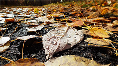 Forest Floor (michaeldantesalazar) Tags: ground woods forest floor leaf leaves waterdroplet droplet water drop fall fallen autumn mud muddy canada warm warmth nature macro