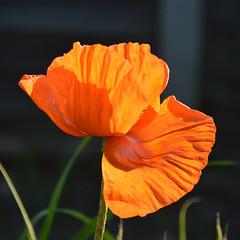 Oriental Poppy (cdb41) Tags: feltham garden flower oriental poppy papaver