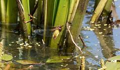 Egg laying (SteveJM2009) Tags: chaser broadbodied dragonfly pond kingstonlacy dorset uk may 2018 spring stevemaskell sun water reed libelluladepressa