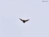 DSC_0120_00001 wb (bwagnerfoto) Tags: bat fledermaus denevér lobau donauauen nationalpark mammal säugetier emlős