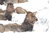 Snowy Elk (adbecks) Tags: elk yellowstone wildlife snow winter niko d500 200500 falling