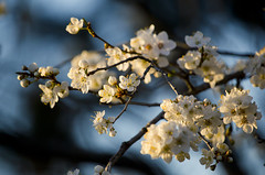 flowering of apricot (*ALLA*) Tags: