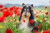 17/52 Leia & Starting with the poppies (shila009) Tags: leia perro dog roughcollie portrait retrato flores happy smile spring red rojo primavera amapolas poppies 1752 dogphotography natural