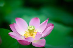 巧遇 (M.K. Design) Tags: taiwan lotus summer nature bokeh tele macro nikon d800e afs 105mmf14e flowers green landscape scenery 台灣 中興新村 荷花 夏天 綠 微距 壓縮 淺景深 散景 奶油 定焦鏡 尼康 自然