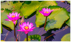 Purple Water Lily 2 (Shojib77) Tags: purplelotus lotus flowers beautifulnature madhabpurlake sreemangal srimangal bangladesh traveling photography waterlily lilies