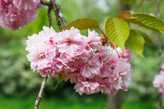 Cherry blossom (Richard Gouw) Tags: floral flower bloom blossom petal cherry spring garden dutch nl
