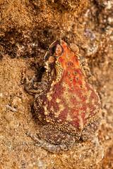 IMG_0520W Duttaphrynus melanostictus, Sri Lanka (Priscilla. Busy on projects.) Tags: duttaphrynusmelanostictus toadsofsrilanka commontoad duttaphrynus