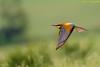 primo gruccione della stagione (taronik) Tags: animali cacciafotografica natura uccelli gruccioni