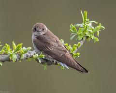 Portrait of a swallow (Fred Roe) Tags: nikond810 nikkorafs80400mmf4556ged nikonafsteleconvertertc14eii nature wildlife birds birding birdwatching birdwatcher swallow stelgidopteryxserripennis northernroughwingedswallow peacevalleypark