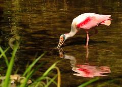 Roze lepelaar (Romanie de Groot) Tags: nikon d5200 germany nature natuur natuurfotografie naturzoo zoo dierentuin duitsland lepelaar outside 2470mm f28