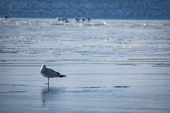 Gull on ice (rwibring) Tags: beach sea horizon coastline ice snow winter stockholm sweden bird seagull shore water spring nikon d7200 ocean nikkor 70300 70300mm