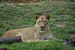 Regal Queen Lioness (photosbyegarcia) Tags: nikond3400 nofilter nikonnofilter nikon zoomiami female africanlion african lioness lion