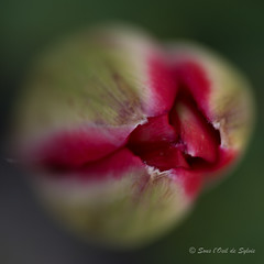 A Propos de Celle qui Attend (Sous l'Oeil de Sylvie) Tags: tulip fleur flower bouton ouverture macro macrophotographie sousloeildesylvie pentax ks2 90mm tamron vert rouge green red carré square printemps spring may mai 2018