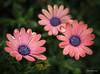 IMG_1772 (Aaron Burrows Photography) Tags: flowers wildflowers spring spring2018 waterdroplets waterdrop waterdrops flowerwithraindrops flowerswithwaterdroplets africandaisy pinkflower